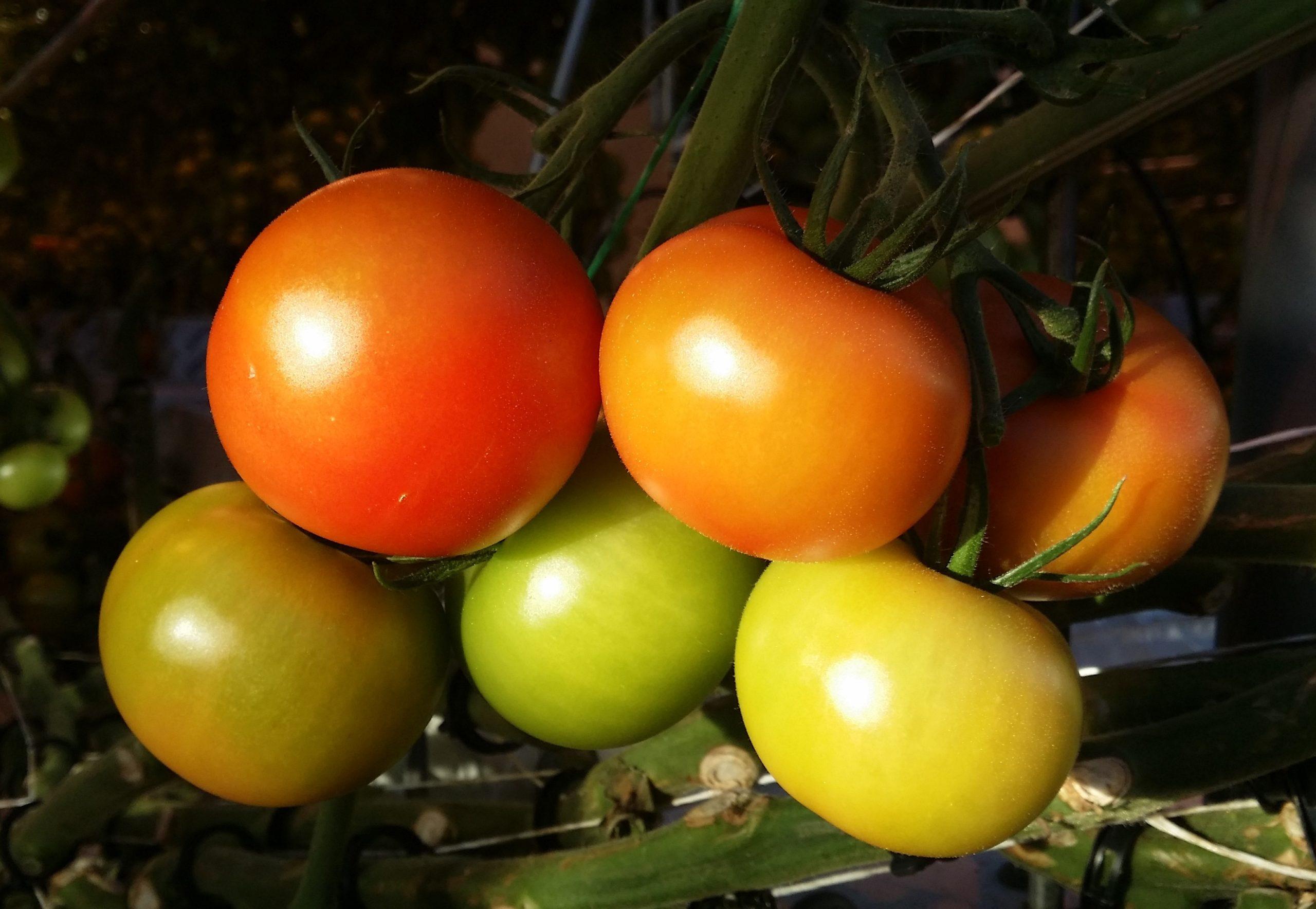 Nibio webbinarier om odling och marknadsföring av växthusgrönsaker