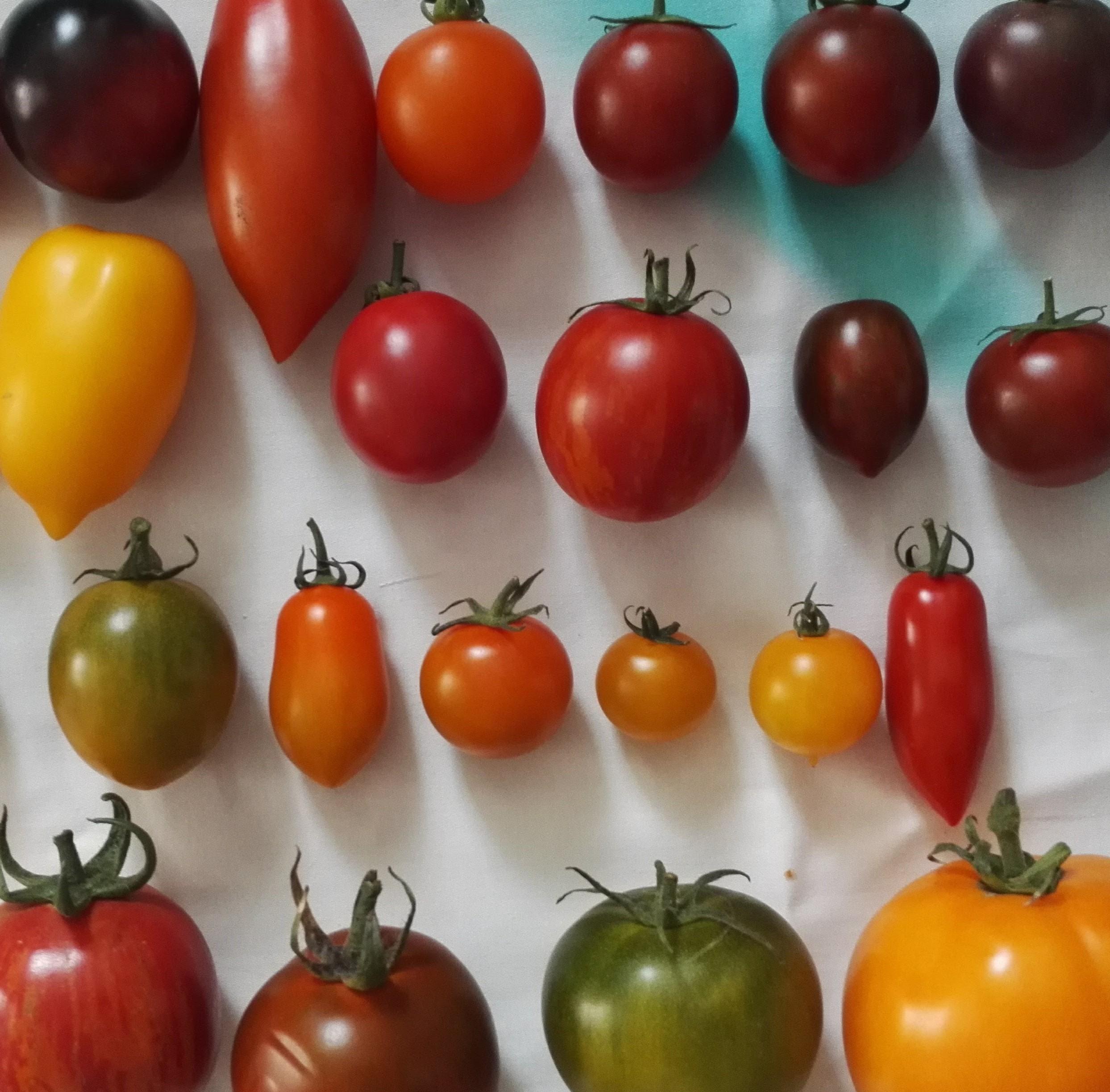 Smakjuryn – fokus på tomat